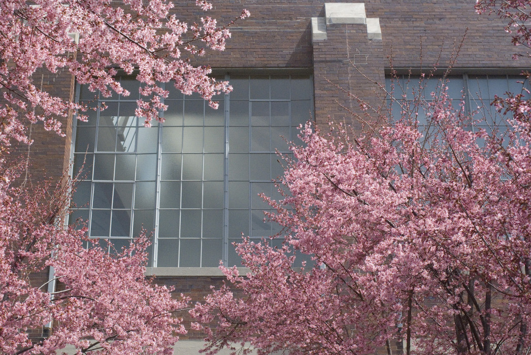Trees blooming with cherry blossoms in front of a brick building with a large multipaned window.